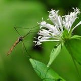 Москит на белом цветке Стоковые Фото