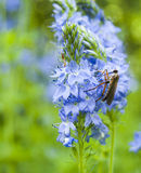 Москит на голубом цветке Стоковые Фото