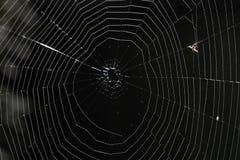 Москит поглощенный в spiderweb Стоковая Фотография