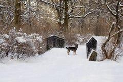 мост покрыл собаку меньшяя зима снежка парка стоковая фотография rf