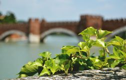 Мост Castelvecchio, Верона, Италия Зеленый плющ в фронте фото, запачканного моста и реки на предпосылке Стоковое Изображение