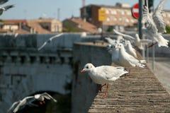 Мост Tiberius Чайки на мосте цветасто Стоковое Фото