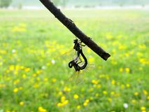Мотивы весны с ароматностью одуванчиков Соединяют Dragonflies на сухой ветви Дайте цветки к ваше любимому Стоковое Изображение RF