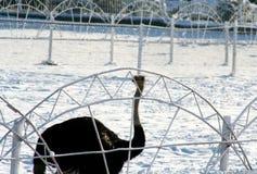 Мотивы зимы страуса и снега Стоковое Изображение RF