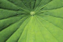 Мотивы лист лотоса Стоковые Фото