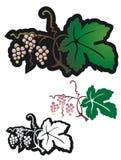 Мотив молодых виноградин Стоковая Фотография RF