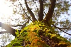 Мох в реальном маштабе времени на стволе дерева Стоковое Фото