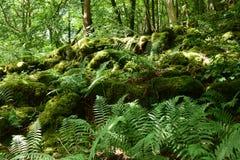 Мох, древесина Bastow, Conistone, Wharfedale, участки земли Йоркшира, Англия стоковое изображение