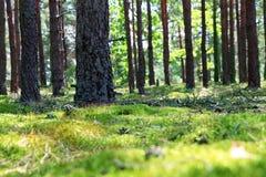 Мох леса хобота сосны Стоковое Фото