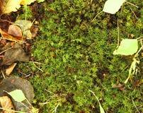 Мох леса Стоковое Изображение RF