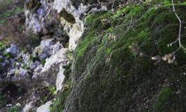Мох леса Стоковые Изображения RF
