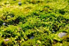 мох зеленого света крупного плана осени Стоковые Изображения RF