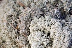 мох Исландии Стоковые Фотографии RF