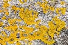 Мох или лишайник caloplaca мустарда желтые saxilocous для естественного p Стоковые Изображения