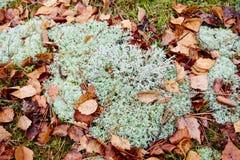 Мох или мох северного оленя стоковое фото rf