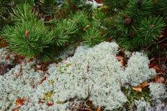 Мох или мох северного оленя стоковая фотография rf