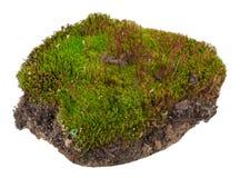 Мох: Коммуна Polytrichum стоковое изображение