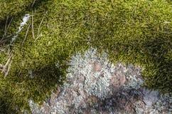 Мох леса на камне стоковое изображение