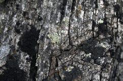 Мох лишайника растя на расшиве дерева Текстура коры дерева с сухим мхом Стоковые Фотографии RF