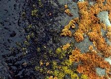 Мох лишайника растя на расшиве дерева Текстура коры дерева с сухим мхом Стоковое Фото