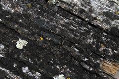 Мох лишайника растя на расшиве дерева Текстура коры дерева с сухим мхом Стоковые Изображения RF