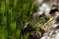 мох лягушки зеленый Стоковые Изображения