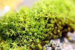 мох макроса Стоковая Фотография RF
