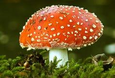 мох мухы agaric Стоковые Фотографии RF