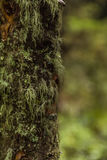 Мох на большом дереве в лесе на горе Стоковое Изображение