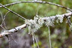 Мох на ветви дерева Зеленый мох на мертвой мертвой ветви дерева Стоковые Фото