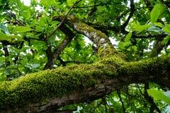 Мох на ветви Стоковые Фото
