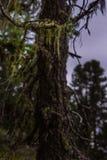 Мох на ветвях сосны в лесе на горе Стоковое Фото