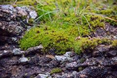 Мох на камне, траве, конце-вверх Стоковое Изображение
