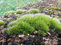 Мох на камне яркого ого-зелен цвета Стоковые Изображения