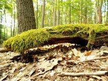 Мох на древесине Стоковые Фото