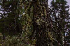 Мох на сосне в лесе на горе Стоковое Изображение RF
