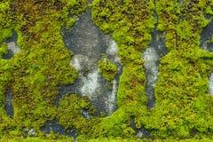 Мох на стене цемента Стоковая Фотография RF