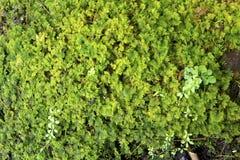 Мох папоротника, delicatulum Thuidium, Sunapee, Нью-Гэмпшир Стоковые Изображения