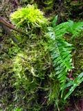 мох папоротников Стоковые Изображения RF