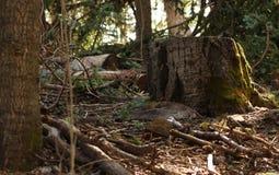 Мох пня лесного дерева растущий в лете стоковые изображения rf