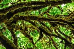 Мох покрыл ветви дерева Стоковая Фотография RF