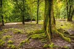 Мох покрыл дерево в Мауи Стоковые Изображения RF