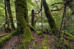 Мох покрыл деревья, национальный парк Fiordland, южный остров, Новую Зеландию стоковые изображения rf