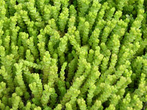мох предпосылок Стоковые Фотографии RF