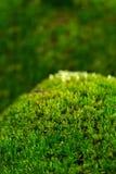 мох предпосылки зеленый Стоковые Фото