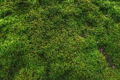 мох предпосылки зеленый Стоковые Изображения
