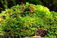 Мох прикрепленный в дерево стоковое фото