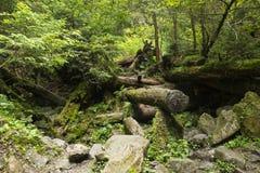 Мох растя в большом упаденном дереве Ствол дерева с мхом Стоковое Изображение RF