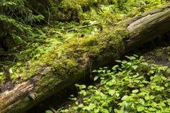 Мох растя в большом упаденном дереве Ствол дерева с мхом Стоковое Изображение