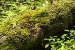 Мох растя в большом упаденном дереве Ствол дерева с мхом Стоковые Изображения RF